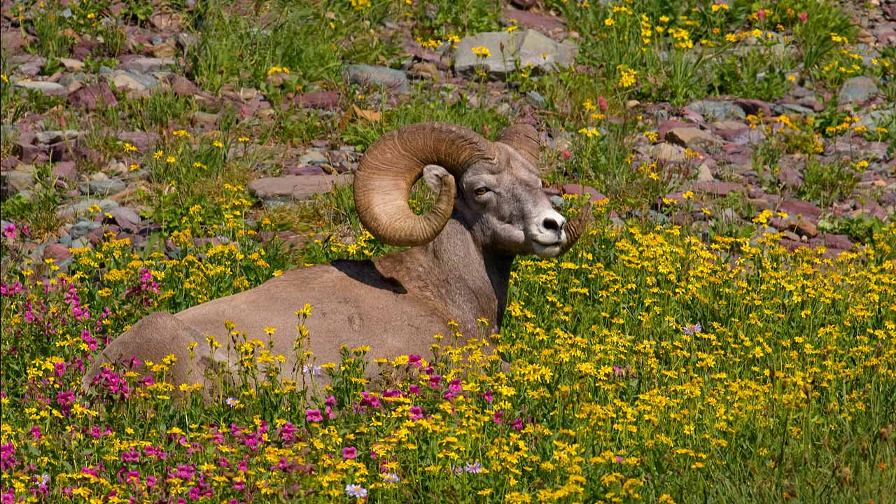 Big Horn in Flowers