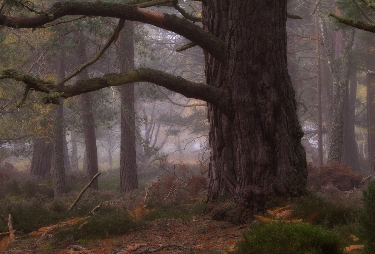 The Old Tree in the Mist