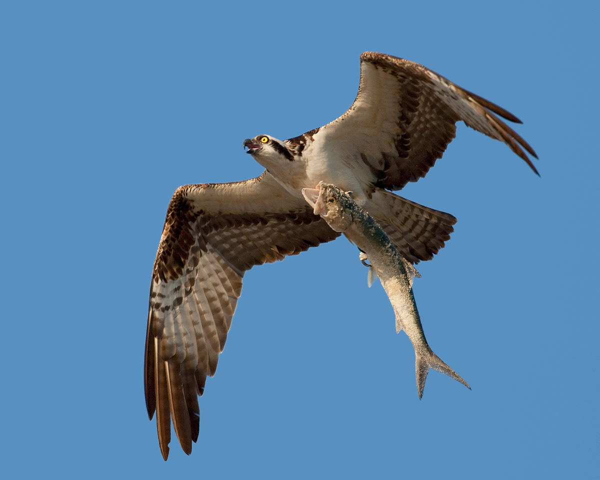 Osprey With Fish Sequence 5