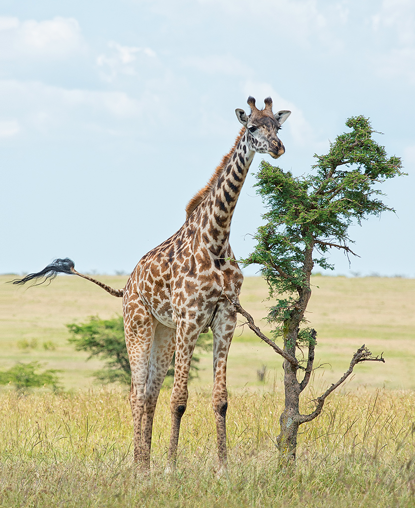The Giraffe and the Acacia Tree